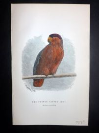 C. W. Gedney 1888 Antique Hand Col Bird Print. Purple Capped Lory